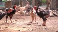 Bình dân hóa gà tiến vua: Hướng đi mới của nông dân Hưng Yên