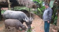 Tuyên Quang: Nông dân có vốn đầu tư nuôi trâu, càng nuôi càng lãi