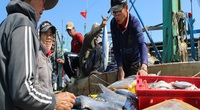 Quảng Nam: Bắt được toàn cá to mà giá rớt quá, ngư dân than khổ