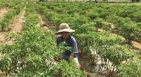 Đà Nẵng: Ớt Bồ Bản rớt giá thảm, nông dân lao đao