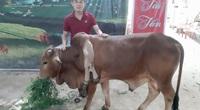 Chuyện lạ Thanh Hóa: Bò 6 chân, đuôi dài sát đất, dân lũ lượt đến xem