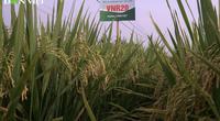 Thử nghiệm giống lúa mới: Nông dân Bắc Giang trúng lớn