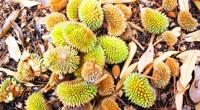"""Đắk Lắk: Cây tiền tỷ rụng trái hàng loạt, sầu riêng thành """"sầu chung"""", có cây chỉ còn toàn lá"""