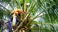 """Làm giàu khác người: Trồng dừa chưa kịp ra trái đã """"hái"""" được khối tiền ở Trà Vinh"""