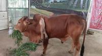 Bò 6 chân ở Thanh Hóa: Nhiều người hỏi mua giá khủng, vẫn không bán