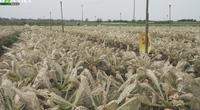 Mê Linh: Nông dân mất trắng ruộng rau vì sâu