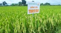 Giống lúa TBR225 trên đất Tây Nguyên thơm từ khi ra bông, gặt bán ngay tại đồng