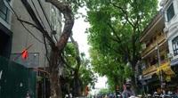 Hiểm hoạ đến từ những cây xanh chết khô, nghiêng đổ trên đường phố Hà Nội