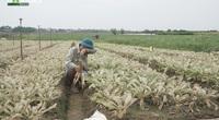 Dùng thuốc sâu Tầu trôi nổi: Nông dân Mê Linh mất trắng vụ rau