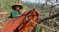 Chặt hạ gỗ tự nhiên trên đất lâm trường ở Bắc Kạn: Cơ quan chức năng nói gì?