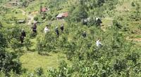 Chăm những đồi chè Tuyết Shan hữu cơ xanh mơn mởn, một năm hái 1.900 tấn búp