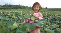 Mang giống sen Bắc vào đất Tây Nguyên trồng, không chăm bón vẫn thu 50 triệu mỗi mùa