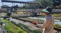 """Đà Nẵng: Làm vườn kiểu """"6 trong 1"""", chỉ có 3.000m2 đất trồng rau mà thu nhập 12-15 triệu/tháng"""