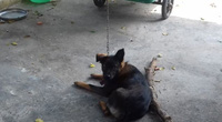 Hy hữu hàng xóm kiện nhau ra tòa giành quyền nuôi chó