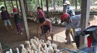 Giá gia cầm hôm nay 3/6: Chủ trại bán 1 lứa vịt thu về gần 1 tỷ đồng