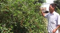 """An Giang: Vườn cây lạ ra hàng tạ trái """"đặc sản"""", khách tấp nập tới mua"""