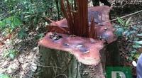 Yêu cầu xử lý nghiêm vụ phá rừng Trường Sơn