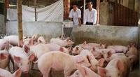Quảng Nam chính thức công bố hết dịch tả lợn châu Phi