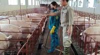 """""""Cuộc chơi"""" không dành cho người liều: Những trại lợn dần hồi sinh, thu quả ngọt (bài 4)"""
