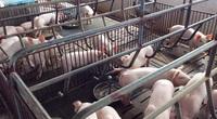 """""""Cuộc chơi"""" không dành cho người liều: Ai cho nông dân vay tiền nuôi lợn thời dịch tả?"""