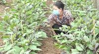 Có Hội kết nối, nông dân yên tâm trồng cà tím