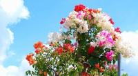 """""""Vương quốc"""" hoa giấy của anh nông dân miền Tây, có cây tiền cả trăm triệu"""