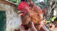 """Quảng Ninh: Nuôi loài gà """"mọc râu"""" bằng cây thuốc bổ, thơm ngon đáo để, chưa kịp lớn lái đã đòi mua"""