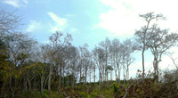 Bình Thuận: Mở chuyên án điều tra hành vi bức tử rừng  Tà Cú bằng thuốc độc