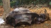 Vụ 14 con trâu chết tại Ba Vì: Tiết lộ đau lòng của nạn nhân