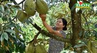 """Miệt vườn tiền tỷ """"gói"""" trong trang trại 12ha ở Đắk Nông, cây nào cũng ra trái quá trời"""