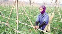 Nhà nông Yên Nghĩa trồng rau đạt chuẩn OCOP, không phải đi chợ mà vẫn bán giá cao