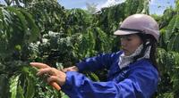 Gia Lai: Tiếp sức kịp thời cho nhà nông làm cà phê sạch, chăn nuôi an toàn