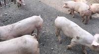 Săn lùng lợn nái, lợn hậu bị, giá 11,5-13 triệu đồng/con, muốn mua phải cọc tiền