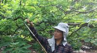 Làng nghề độc đáo trên xứ chè: Về xóm núi xem thụ phấn na