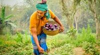 Kenya, Bangladesh mở cửa với bông và cà tím biến đổi gen