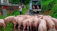 Giá heo hơi hôm nay 3/7: Thủ tướng yêu cầu quản lý tốt khâu trung gian để giảm giá thịt lợn