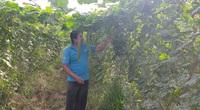 An Giang: Trồng mướp hương, mỗi ngày hái 1 tạ trái, thương lái mua hết sạch