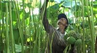"""Hà Nam: """"Biến"""" đồng hoang thành đầm sen khổng lồ, nông dân thu cả trăm triệu mỗi vụ"""