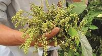 An Giang: Trái chồi mồi - đặc sản rừng phải không cao lương mỹ vị nhưng lại chứa đậm tình quê