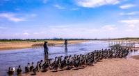 Sản vật Phú Yên: Thơm ngon như vịt chạy đồng ở sông Ba, ăn miếng da cũng thấy nhớ