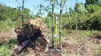 Đắk Nông: Vợ chồng U70 lên rừng trồng 20 ha măng tre 4 mùa