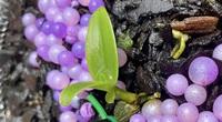 Bình Dương: Mầm lan đột biến bé như ngọn rau muống giá 15 tỷ đồng