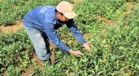 Quảng Nam: Thứ rau rừng thơm mùi thuốc Bắc trồng trên rẫy, ai cũng muốn mua
