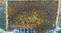Cụ ông 80 tuổi vẫn làm nên cơ nghiệp với bầy ong