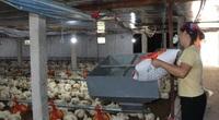 Giá gia cầm hôm nay 9/7: Giá gà thịt công nghiệp giảm sâu, tiêu thụ chậm