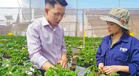Liều trồng dâu tây trên đất cà phê, chàng kỹ sư trẻ thu tiền to