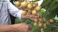 Trồng nhãn cho quả to ngọt sai trĩu lại ít sâu bệnh nhờ bón phân ủ từ cá và đậu tương