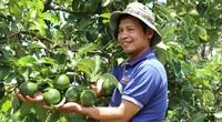 Lâm Đồng: Ngắm 200 cây bơ ghép sai quả trĩu trịt, nhìn xa ngỡ chùm sung, quanh năm hái mỏi cả tay