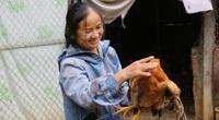 Hòa Bình: Dân thành phố thả nuôi bao la gà ta, chưa lớn thương lái đã hỏi bán chưa