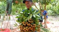 Hưng Yên: Giá nhãn còn 11.000 đồng/kg, do Trung Quốc dừng mua?